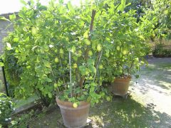 Little lemon trees
